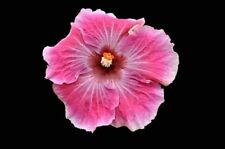 * Hotsy Totsy * Rooted Tropical Hibiscus Plant*Ships In Pot*