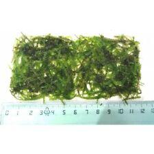 Muschio per acquario - Christmas Moss 12x6cm - Vesicularia montagnei - Natale -