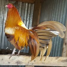 8+ pumpkin Hulsey poultry chicken hatching eggs.(hatchability not gauranteed).