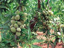 Mandelbaum - Süßmandel - Prunus dulcis - Winterharte Pflanze 140-170cm