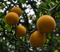 1 PLANT Poncirus trifoliata TREE arancio trifoliato ORANGE FRUIT citrus edible