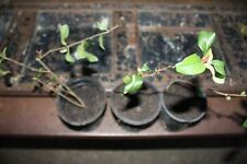 pinkquince,8 inches tall, bonsai starter