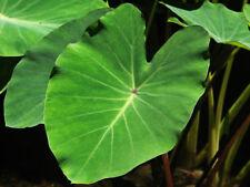 Live Green Taro Tropical Aquatic Marginal Bog Pond Plant