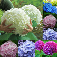 30Pcs Beautiful Garden Potted Blue Hydrangea Flower Seed Flower Plant Rare Seeds