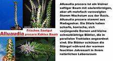 10x Alluaudia procera cactus árbol habitación planta las semillas semillas 99% rendimiento #264