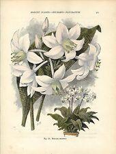Stampa antica FIORI EUCHARIS AMAZONICA botanica 1896 Old Antique print