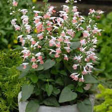 Flower Seed: Summer Jewel Pink Salvia 40 Seeds  Fresh Seed  FREE Shipping
