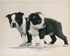 BOSTON TERRIER c. 1950 - Chiens Chiots Grand Format - CH 63