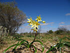 Bulbs NATIVE - Crinum luteolum - 3 bulb/seeds - yellow flowering