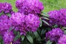 Rhododendron Purple Passion - #1 Container Size Plant - Hardy to -10 F