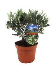 Olivenbaum 30 cm +/- Olea Europea