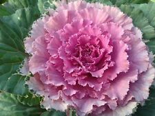 Flower Seed: Ornamental Cabbage Osaka Pink 40 Seeds Fresh Seed Free Shipping