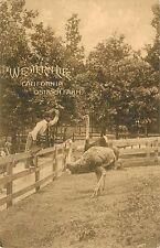 """1908 """"Western Life"""" California Ostrich Farm Postcard"""