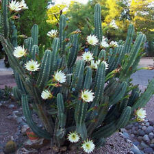 Cereus hildmannianus QUEEN OF THE NIGHT blooming cacti rare flower seed 50 SEEDS