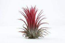 Tillandsia ionantha red form succulent airplant, living specimen