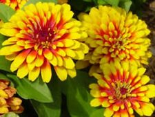 SCARLET & YELLOW Zinnia Swizzle, long flowering plants – 6 cell seedling punnet