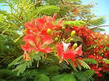 Flammenbaum Delonix regia Flamboyant Pflanze 20cm tolle rote Blüten Exot Rarität