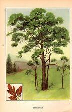 """1926 Vintage TREES """"SASSAFRAS"""" GORGEOUS COLOR Art Print Lithograph"""