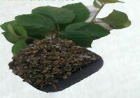 Krauterino24 - Brombeerblätter geschnitten fermentiert - 100g