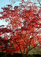"ACER PALMATUM ""Japanese Maple"" 1.2mt high in 20cm pot Oriental Tree Plant"