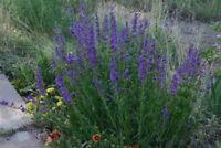 penstemon, PERENNIAL, blue flower, ROCKY MOUNTAIN, 1100 seeds! GroCo