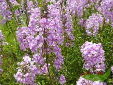 duftender Wiesen Phlox Natascha, wilde Flammenblume, rosa-weiß gestreifte Blüte