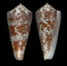 7385 Conus thomae - f+++ - 72,2 mm - Philippines - amazing lip!