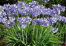 Pack x6 Blue Agapanthus Perennial Summer Flowering Plug Plants