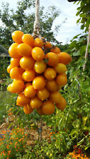 10 graines de tomate ancienne rare Piennolo Giallo del Vesuvio beauté et saveur
