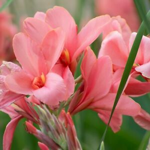 Canna THAI PRINCESS  5 SEEDS .FRESH VIABLE SEEDS OF THIS TROPICAL EXOTIC PLANT