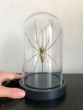 Decoration / Curiosité / Globe verre avec Araignée géante Nephila maculata d'Or!