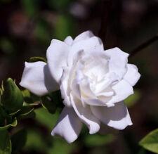 Cape Jasmine (Gardenia jasminoides) - 50 Fresh Seed