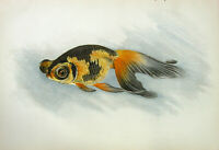 Oriental DEMI RANCHU TELESCOPE EYE FANCY GOLDFISH, 1909 Art Print Engraving RARE