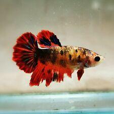 "Live Betta Fish - Female Halfmoon -""Koi Candy Fancy"" Betta High Quality(QOCT123)"