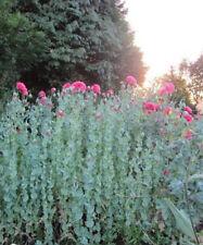 15 graines Blanc fictif-Pavot-Bouture Betonicifolia Alba-Hiver-Poppy