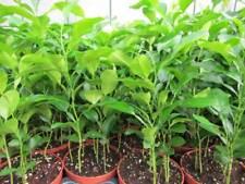 3x Citrus hystrix 'Kaffir-Limette' Zitrus - Pflanze 25-30cm - Kaffernlimette
