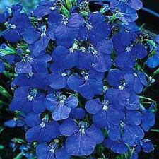 50+  LOBELIA REGATTA BLUE TRAILING  PERENNIAL FLOWER SEEDS
