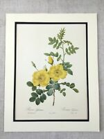 1956 Vintage Botanico Stampa Dolce Brier Giallo Rose Fiori Joseph Redoute