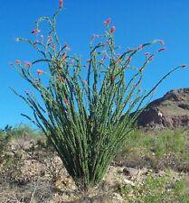 """2 - 12 """" CUTTINGS *OCOTILLO DESERT PLANT * ORANGE FLOWERS* FOUQUIERIA SPLENDENS"""