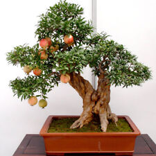 30PCs Bonsai Pomegranate Seeds Delicious Fruit Succulents Tree Mini Home Decor