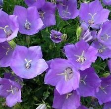 TUSSOCK BELLFLOWER 200 FRESH SEEDS FREE USA SHIPPING CAMPANULA CARPATICA
