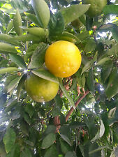NARANJA / NARANJ / SOUR ORANGE TREE X 1