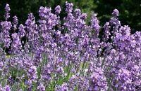 Die violette Hummelwiese  - der duftende Lavendel !
