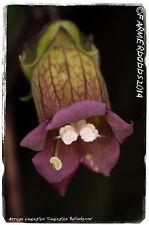 Atropa caucasica 'Caucasica Belladonna' (GA3- Gibberellic acid READY!)100+ seeds