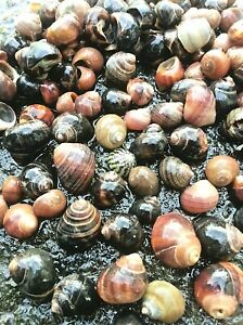 25 Spiral Snail Sea Shells Assorted mixed sizes & colours Beach Decor Craft