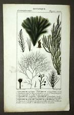 ALGUES CERAMIUM ACOTYLEDONES  Botanique plante gravure originale aquarelle 1819
