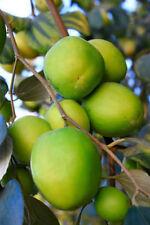 10 JUJUBE CHINESE DATE ZIZIPHUS JUJUBE TREE SEED NATIVE THAI FRUIT