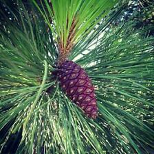 Pinus ponderosa PONDEROSA PINE TREE Seeds YELLOW PINE BLACKJAKS PINE