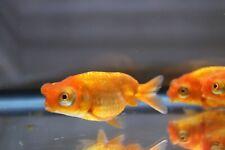 New listing Live Red Telescope Pompoms Fancy Goldfish + Video In Description