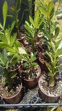 Desert Rose Adenium obesum Plants